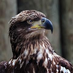 Golden Eagle (NaPix -- (Time out)) Tags: portrait golden eagle usa homosassa springs wildlife state park