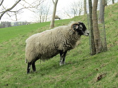 Burnsall, Appletreewick, Howgill & Barden 2.4.2017 (28) (bebopalieuday) Tags: yorkshiredales upperwharfedale burnsall dalesway footpath hartlington carpark sheep ewe northyorkshire