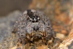 Philaeus chrysops, mâle immature dégustant un hyménoptère (Thèbe) (G. Pottier) Tags: philaeuschrysops philaeus chrysops saltique araignéesauteuse jumping spider salticidae saltiquesanguinolent araignée