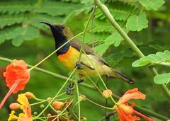 Olive-backed Sunbird (Free_aza_Bird) Tags: olivebacked sunbird palawan island phillipines birds birders culion busuanga coron daluyon beach western philippines cinnyris jugularis cinnyrisjugularis tamsi yellowbelliedsunbird
