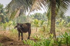 Young Buffalo (luke.me.up) Tags: kerala backwaters tourism india cochi cochin nikon d810 buffalo