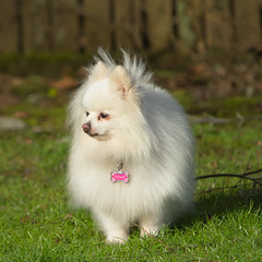 Molly in the garden (mariannedeselle) Tags: dog chien pomeranian molly littledog whitedog cutedog