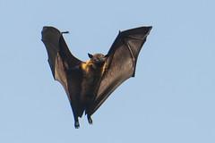 fruit bat-2 (S. Nysteen) Tags: srilanka fruitbat kandy centralprovince lk flyingfox