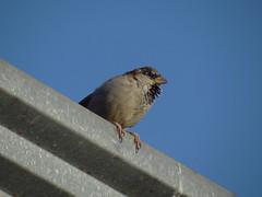 DSC00417 Pardal (familiapratta) Tags: sony dschx100v hx100v iso100 natureza pássaro pássaros aves nature bird birds novaodessa novaodessasp brasil