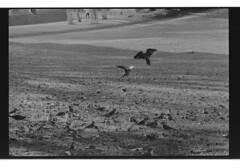 P42-2017-026 (lianefinch) Tags: argentic argentique monochrome noirblanc noiretblanc blackandwhite blackwhite bw bruxelles brussels belgium belgique belgïe parc oiseaux perruches birds