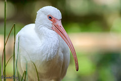 American White Ibis (parry101) Tags: american white ibis whiteibis animal animals tampa flordia us usa america busch gardens buschgardens nature outdoor eye eyes geraint parry geraintparry bird birds