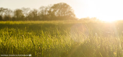 In the Evening Sun. (andreasheinrich) Tags: spring nature grass field evening april sunny warm germany badenwürttemberg neckarsulm dahenfeld deutschland frühling natur gras feld abend sonnig nikond7000