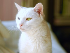 Charlie (rootcrop54) Tags: color gorgeous charlie white allwhite male rescue cat goathouserefuge heterochromia oddeyes macska kedi 猫 kočka kissa γάτα köttur kucing gatto 고양이 kaķis katė katt katzen kot кошка mačka maček kitteh chat ネコ eastercolors easter pastels spring