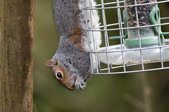 Squirrel Proof? (Keith Grafton) Tags: leightonmoss squirrel
