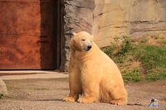 Erlebniszoo Hannver 15.04.2017 096 (Fruehlingsstern) Tags: eisbären polarbear sprinter melana elefanten seelöwen weiskopfseeadler yukonbay erlebniszoohannover hannover canoneos750 tamron16300 zoo