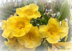Farewell from the Canary Islands (Bob.W) Tags: yellow bloom loscristianos canaryislands ngc npc