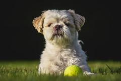 Dog-8778-2 (EB_Creation) Tags: nikon nikond7100 playing dog ball yellow white shih shihtzucentral shihtzu outdoor outside outdoors amazing amateur tamron