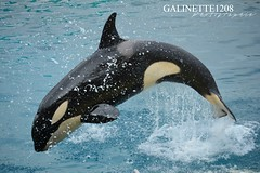 The small Keijo bow (GALINETTE1208) Tags: marineland antibes 2017 mld orca killer whales orque spectacle presentation inouk keijo moana wikie dolphin dauphin cetace ceatacean black white d5200 nikon bow small cute