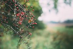 * (Paisley patches) Tags: berries bokeh rain nikon