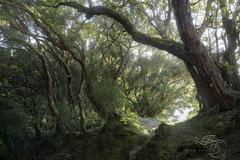 Breathing Forest (enricofossati) Tags: enricofossati wanderer romantic forest fantasy lush intimate