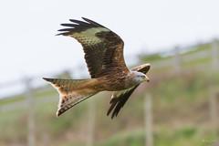 Red kite (Shane Jones) Tags: redkite kite bird birdinflight birdofprey raptor wildlife nature nikon d500 200400vr tc14eii