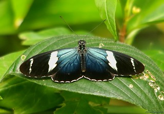 Sara Longwing Butterfly (Heliconius sara)
