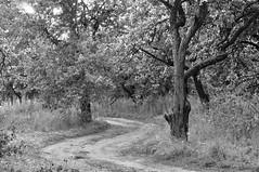 Яблоневый сад / Apple orchard (Павел Ныриков) Tags: деревня сад дорога bw природа пейзаж landscape