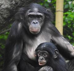 1910ex momma and baby bonobo (jjjj56cp) Tags: bonobo primate greatape momma mother mom baby cincinnatizoo cincinnati oh ohio cincinnatiohio p900 jenny pansing mammals animals jennypansing tenderness bonding parenting motherhood