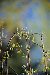 Spring Up (The Good Brat) Tags: spring vine growth blue fresh green up upward