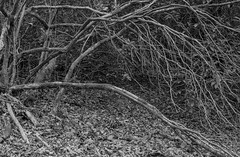 Bare Rhododendron (Stanley Burn Wood) (Jonathan Carr) Tags: tree abstract abstraction rural northeast landscape monochrome 6x9 toyo45a