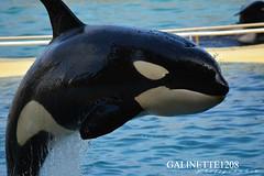 Keijo Profil (GALINETTE1208) Tags: keijo orca wikie inouk moana killer whales orque marineland antibes france up close face black white d5200 nikon seaworld shamu cetacean cetace dolphin eyes