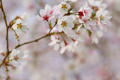 Branches and Blossoms (SunnyDazzled) Tags: flower tree branch blossoms blooms spring white pink nature light fresh