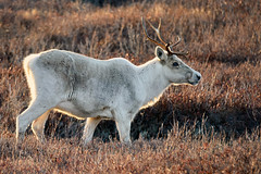 Rangifer tarandus ... Woodland Caribou (Zircon_215) Tags: rangifertarandus woodlandcaribou caribou reindeer rimlighting evening wildlife newfoundlandwildlife