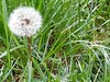 Fleur de pissenlit, belle éphémère! (garance_cassandre) Tags: bois fleur marronnier