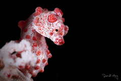 Bargibanti Pygmy Seahorse (Hippocampus bargibanti) (Randi Ang) Tags: bargibanti pygmy seahorse hippocampusbargibanti hippocampus seraya secret tulamben bali indonesia underwater scuba diving dive photography macro randi ang canon eos 6d 100mm randiang