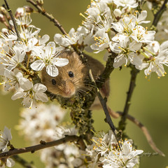 May blossom Mouse (pixellesley) Tags: mouse harvestmouse animal mammal whiskers nose peeking peeping shy hiding blossom hawthorne shrub spring wildlife