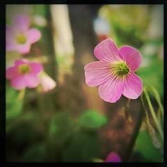 shine on (meeeeeeeeeel) Tags: plantinha natureza nature planta plant garden jardim depthoffield dof squareformat iphone iphoneography hipstamatic corderosa rosa pink flor flower