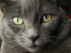 DSCF7873 (Lea Miller) Tags: russianblue cat greeneyes ilobsterit