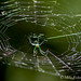 Green Spider at 40 Acre Lake