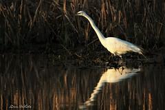 egret on the lake edge (don.white55 plunging headlong.) Tags: greategretardeaalba wildwoodpark harrisburgpennsylvania donwhite donpwhitephotography thatswildnaturephotography canone0s7od canoneos70dtamronsp150600mmf563divcusda011 tamronsp150600mmf563divcusda011 bird bigbeak bigbird egret reflection goodlight wildlife waterfowl w