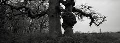 Oaks, Sauvie Island, Oregon (austin granger) Tags: oaks sauvieisland oregon oaktrees trucks correspondence texture anthropomorphic pair trees limbs film xpan