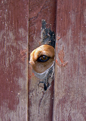 Peek-a-Boo (brentflynn76) Tags: dog eye animal fence photo funny humor humour curious curiosity