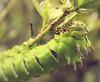 Taturana (Tiago Melo - Portfólio Fotográfico) Tags: nature insect deleteme10 inseto