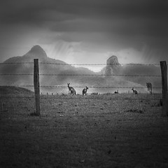 a few roos loose in the top paddock (Fat Burns) Tags: blackandwhite bw landscape roos kangaroos ruralscene