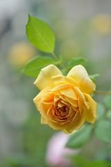 Rose 'Golden Celebration' (myu-myu) Tags: flower nature rose japan nikon mygarden  d800  goldencelebration  makroplanart2100zf