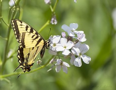 Same Swallowtail, different place (Carolyn Lehrke) Tags: flowers wild usa nature woods wildlife tiger butterflies insects wv moths wildflowers swallowtail greenbriercounty ilobsterit