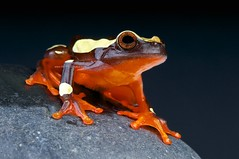 Clown treefrog / Dendropsophus leucophyllatus (Reptiles4all) Tags: brazil orange t