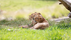 A Tender Moment (WisteriaLane) Tags: lions lioncubs babycub flickrbigcats sandiegozoosafaripark kendixie