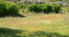Primavera (IV) (La Mary Anne) Tags: primavera spring poppies florecillas amapolas campodeamapolas florecillassilvestres