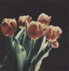 Tulips. by juli -