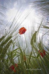 Poppy (Frau Holle2011) Tags: flowers rot field feld wiese blumen lonely einsam mohn mohnblume allein