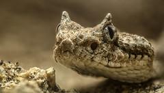 Sidewinder (codyornbaun) Tags: color macro scary sand focus desert snake tan stack rattlesnake stacked sidewinder