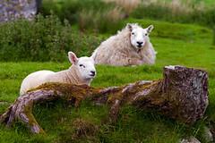 Lamb and Mother (Elmer Duck) Tags: sheep lamb leicame leicateleelmar135mmf4