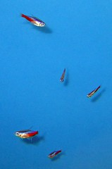 Five Tetras (Sea Moon) Tags: blue red fish green aquarium tropical iridescent neontetra colrful cardinaltetra