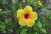 Hibiscus (Florence3) Tags: flowers hibiscus sicily favignana egadiislands